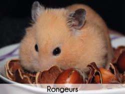 Rongeur